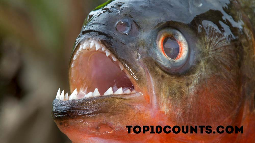 piranha - Most Dangerous Fish In The World - top10counts