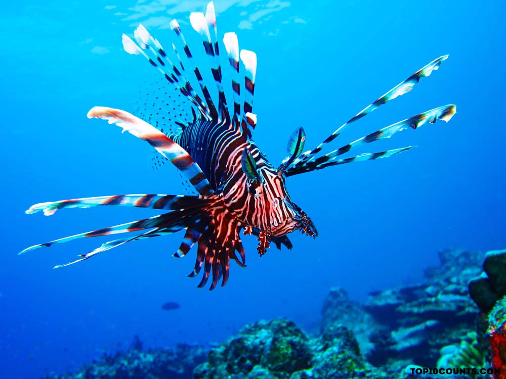 red lion fish- Most Dangerous Fish In The World - top10counts