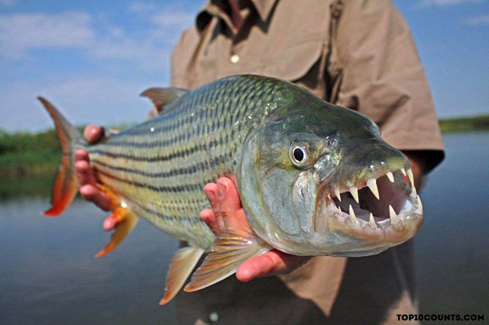 tigerfish - Most Dangerous Fish In The World - top10counts