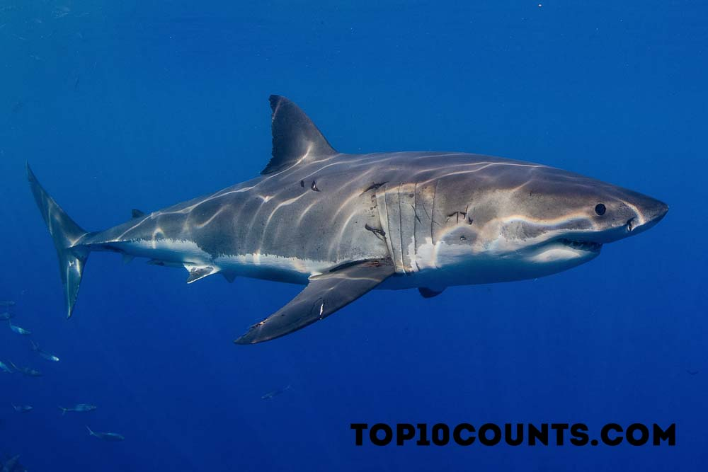 white shark- Most Dangerous Fish In The World - top10counts